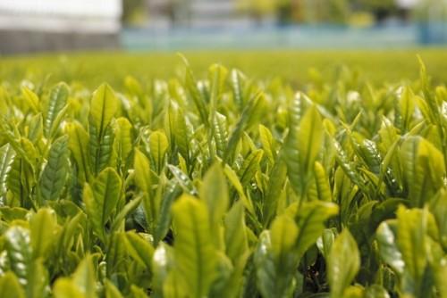 緑茶のビタミンCが美肌を保ち、デトックス効果も抜群