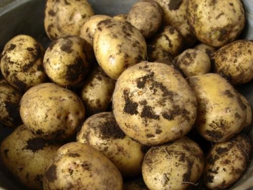 じゃがいもの芽が持つ毒素を食べ過ぎると食中毒の可能性が