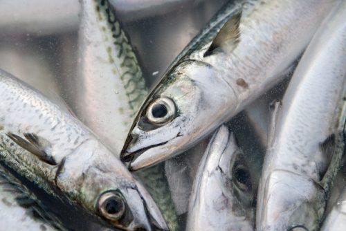 脳の血行促進を促すDHAを含む青魚